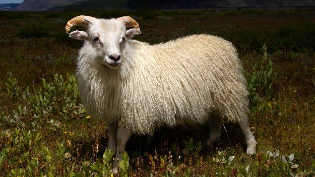saurez-vous-reconnaitre-ce-poil-pilou-pilou-laine-islandaise