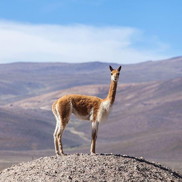 saurez-vous-reconnaitre-ce-poil-pilou-pilou-laine-vigogne